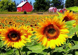 Grasse Acres Sunflowers